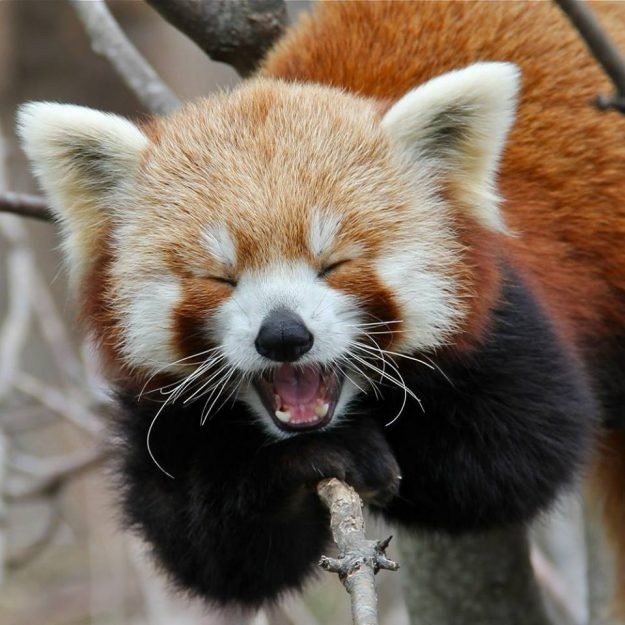 Red Panda Recovery